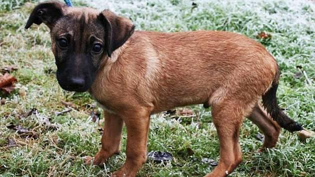 Jekota je nejspíše kříženec, štěně, asi 3 měsíce starý pes, v kohoutku 32 cm, dobrý zdravotní stav.