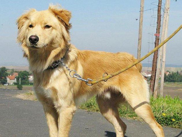 Gold je nejspíše kříženec zlatého retrívra, asi 10 - 12 měsíců starý pes, v kohoutku 52 cm.