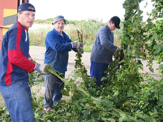 Slovenští brigádníci vkládají štoky chmele na česačce v Oplotech na Podbořansku.