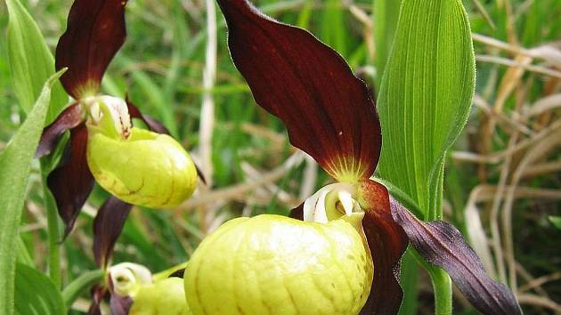 Na snímku Karla nepraše, botanika litoměřického muzea, je orchidej neprascypripedium calceolus.