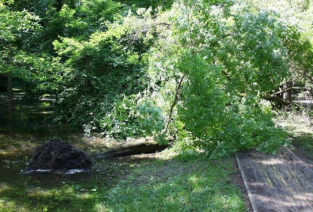 Včervnu roku 2013se při povodni vMasarykových sadech vyvrátilo několik stromů. Některé padly přímo na cesty