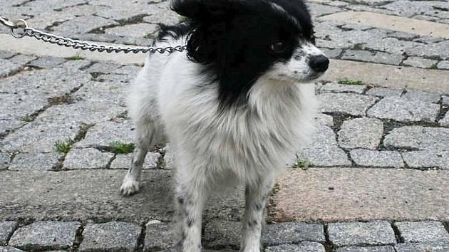 Papi. Kříženec, 6-7 let starý pes. Papi je malý přítula vhodný pouze do teplého domova.