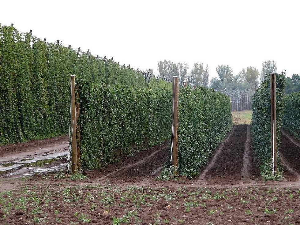 Zemědělci opět zkoušejí pěstovat chmel na minichmelnicích. Snímek je ze Stekníku na Žatecku. Oproti klasické sedmimetrové konstrukci jsou minichmelnice vysoké jen tři metry. Vypadají spíše jako vinice, řady sloupů nejsou příčně spojené.