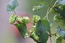 Žatec se chce na prestižní seznam UNESCO dostat díky své tradici ve zpracovávání chmele a pivovarnictví