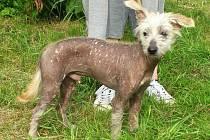 Alf je nejspíše kříženec peruánského naháče, přibližně 8-10 měsíců starý pes, v kohoutku asi 39 cm.