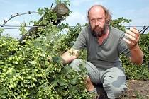 Jaroslav Zídek ze Sedčic na Žatecku si prohlíží spoušť , kterou zanechala v tamních chmelnicích bouře s přívalovým deštěm a větrem. U Sedčic spadlo deset hektarů chmelnic, Zídek odhaduje škody na tři miliony korun.
