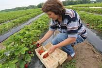 První červené plody už se sbírají například v Doksanech na Litoměřicku
