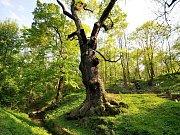 Legendární Oldřichův dub v Peruci