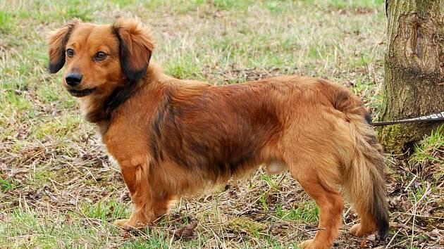 Mates je kříženec jezevčíka, asi 3 roky starý pes. Vhodný do teplého domova jak k mladé rodince, tak i ke starším lidem.