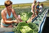 Ženy sklízejí zeleninu na polích na pomezí Lounska a Litoměřicka.