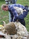 Své umění předvedl střihač ovcí