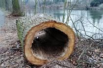 Torzo jednoho z pokácených stromů v lounském parku