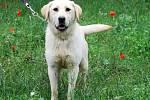 Karabina je dva až tři roky stará kříženka labradora. Čeká na vlídné slovo, pohlazení a nový domov.