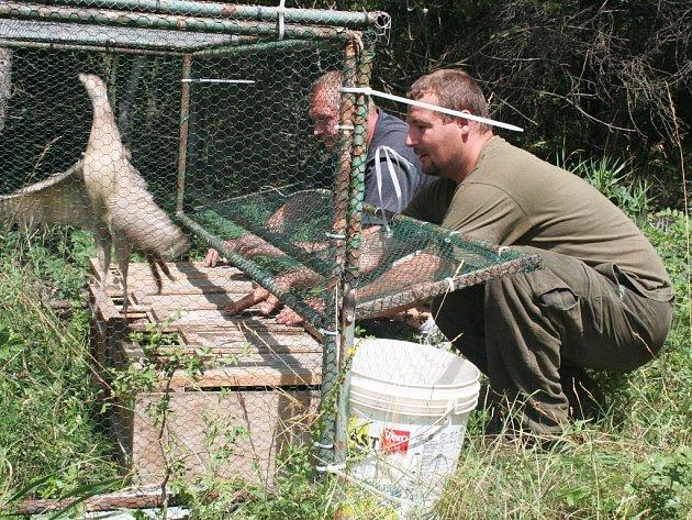 Členové mysliveckého sdružení Bitozeves Ivan Kolar a Čestmír Wist vypouštějí bažantí samice do volné přírody.