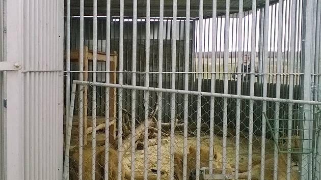 Na Lounsku našli tři lvy, které majitel choval bez povolení a v nevyhovujících podmínkách