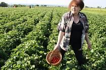 """""""Já budu dělat z jahod knedlíky a koláč,"""" prozradila Miloslava Hlaváčová."""
