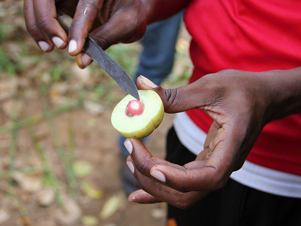 Kdo na snímku ze Zanzibaru pozná právě utržený muškátový oříšek?