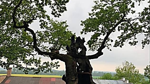 Strom u Stroupče, který je ve finále ankety Strom roku.