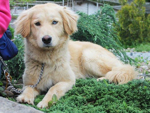 Mazlík je nejspíše kříženec, asi 1,5 až 2 roky starý pes, v kohoutku asi 47 centimetrů. Mazlí se , umí na vodítku, nemá rád ostatní psy.