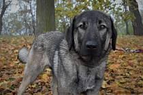 Kazan hledá nového páníčka, jako štěně byl opakovaně týrán