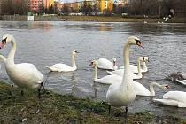 Zimoviště vodního ptactva v Žatci