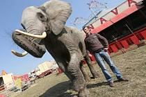 Slonice Tembo u Cirkusu Bob Navarro King při hostování v Ústí nad Labem. Odtud se už za pár dní přesune do Loun