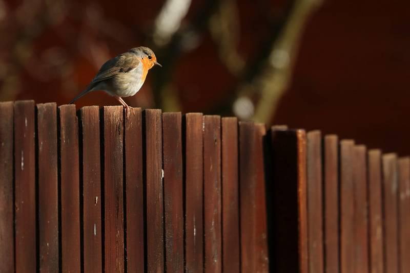S fotografií červenky na plotě vyhrála Laurencia Helásková letošní ročník soutěže v kategorii Příroda ve městě.