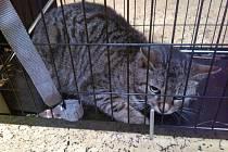 Odchycené kočky v kleci městské policie v Lounech.