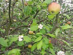 Kvetoucí jabloň u Nechranické přehrady na začátku října