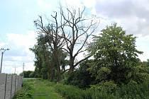 Vysoké vrby u Cítolib na Lounsku, která desetiletí tvoří stromořadí při cestě do tamní Bažantnice, zřejmě někdo otrávil.