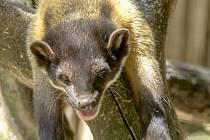 Do chomutovského zooparku přicestoval sameček charzy žlutohrdlé