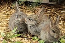 V okolí počeradské elektrárny se zabydlí divocí králíci.