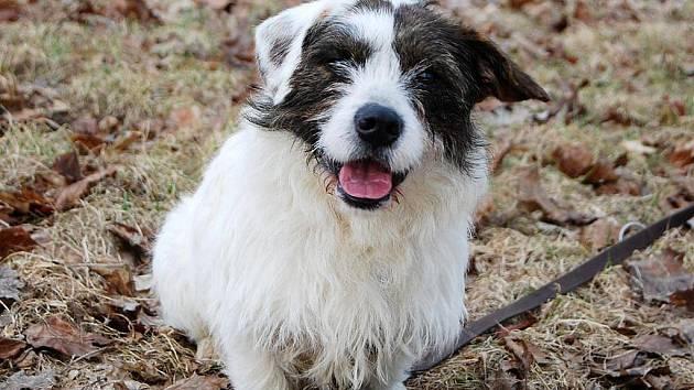 Flíček je nejspíše kříženec, asi rok starý pes, v kohoutku 32 cm, dobrý zdravotní stav. Flíček je pohodář každým coulem. Je to kliďas, který vyjde s každým pejskem, je za vše vděčný a radostný.