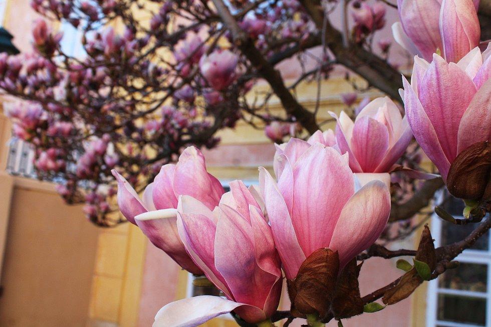 Rozkvetlé magnolie na zámeckém nádvoří.
