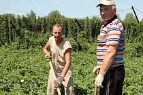Volodymyr Povzun a Jaroslav Sviščuk pracují uprostřed chmelnice ve Stekníku u Žatce, kterou v minulých dnech porazila vichřice.