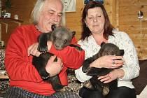 Chovatelé Jaroslav Káňa a Radka Šarkányová z Veletic na Žatecku si hrají s malými medvědy, kteří se u nich nedávno narodili.