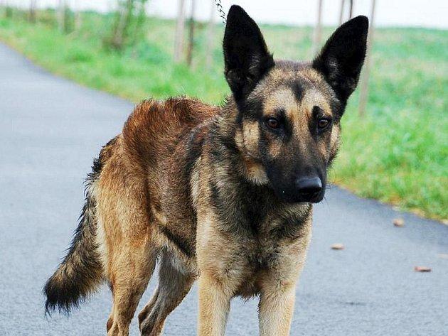 Ušák je nejspíše kříženec německého ovčáka, asi 1,5 roku starý pes, v kohoutku 53 cm. Ušák je zatím bázlivý, potřebuje páníčka, který mu vrátí ztracené sebevědomí.