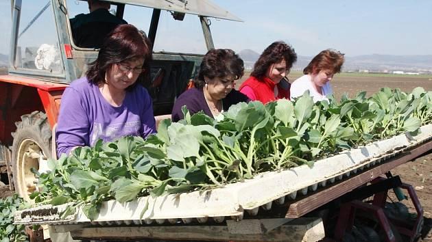 Na řadu přišly sazenice zeleniny.
