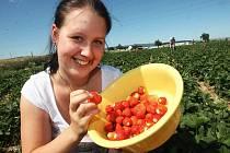 Samosběr jahod u Údlic na Chomutovsku