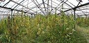 Technické konopí ve sklenících firmy Severofrukt Travčice