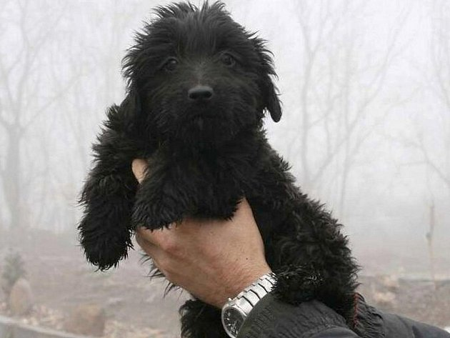 Kudrna je nejspíše kříženec, štěně, asi 3 - 4 měsíce starý pes, v kohoutku 26 cm, dobrý zdravotní stav, veselý, přátelský. Vhodný pouze do teplého domova.