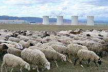 Ovce a kozy využívá společnost ČEZ ke spásání trávy na několika místech