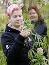 Alena Vachtlová (vpředu) a Lenka Berešová sklízejí technické konopí ve sklenících firmy Severofrukt Travčice