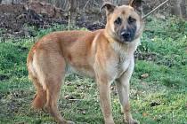 Štrbák je nejspíše kříženec, asi 1 rok starý pes, v kohoutku 57 cm. Neumí chodit na vodítku.