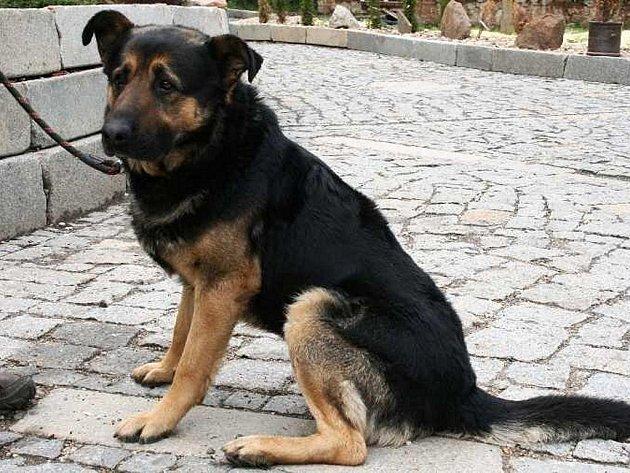 Rambo je kříženec německého ovčáka se smutným kukučem. Je to kontaktní pes, vhodný jak k domku se zahrádkou a teplým zázemím, tak do bytu s dostatkem pohybu.