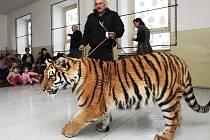 Tygr Čiko na návštěvě v základní a mateřské škole ve Staňkovicích