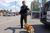 Strážník přiváží odchyceného pejska do areálu lounské technické správy. Tam si zvíře vyzvednou pracovníci útulku