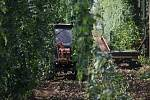 Rozeběhla se sklizeň chmele u prvních pěstitelů na Žatecku. První chmelnice jsou sklizené třeba ve Stekníku.