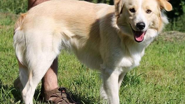 Šoumí je nejspíše kříženec, asi 12 měsíců starý pes, v kohoutku měří 48 centimetrů. Na vodíku bezproblémový.