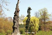 Jednou z dominant parku je Goethův dub, 800 až 1000 let staré torzo.